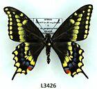 Papilionidae, HYBRID 2, Hybrid female & P.machaon male, A1-, male, black form