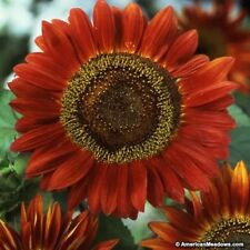 Sunflower- Red Sun- 100 Seeds