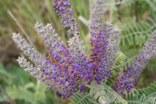 Amorpha canescens ( 20 graines /seeds )