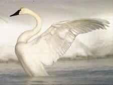 Postcard Wyoming Trumpeter Swan Stretches Wings Unused MNT