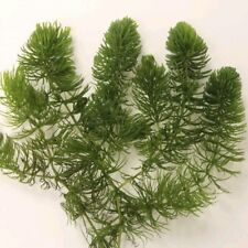 5 STRANDS BITS OF HORNWORT FOR POND AQUARIUM FISH TANK OXYGENATING PLANT WEED