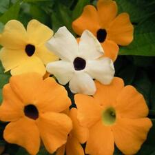 Pack Flower Seeds Thunbergia Alata Mix (Black Eye Suzie) Kings Seeds