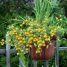 Tomato Tumbling Tom Yellow Seeds Early Heavy Yields Hanging Baskets 20 Seeds
