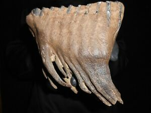 beautiful Fossil Tooth of a Woolly Mammoth! with great ROOTS preserved!#10