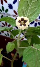 Physalis Peruvian - Cape Gooseberry - Fruit Cometible - 500 Seeds