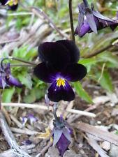 300/600 Seeds Pansy Black/Flower Edible