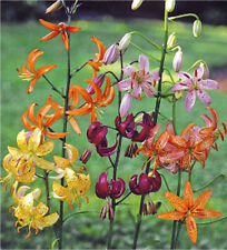 Lilium martagon var. Painted Ladies 8 seeds