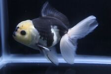 Live Panda Oranda Fancy Goldfish #6 + Video In Description