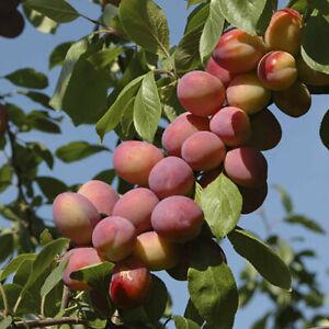 1X SEED ORGANIC Cordon Victoria Plum Patio ENGLISH Plum Tree SWEET FRUITS