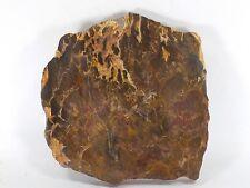 Fossil Fern Australian Palaeosmunda williamsi Queensland (EA5370) plant gem