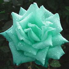 200pcs Mint Green Rose Seeds Butterflies Love Garden Flower Rare Plant Seeds