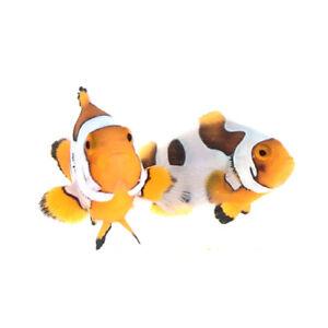 Sustainable Aquatics Picasso Percula Clownfish Bonded Pair