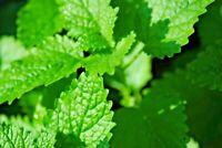 Organically Grown Catnip   Coarse, Powdered, Very Potent!   Buy a Sample or Bulk