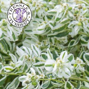 Rare Euphorbia marginata Bride 10 seeds UK SELLER