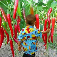 Red 20Pcs Pepper Home Garden Rare Seeds Plant Chili Spicy Vegetable Giant Spices