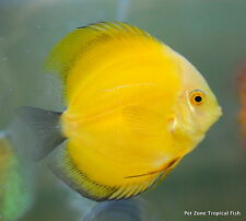 Lemon Yellow Discus (Golden Lemon) - Beautiful Live Freshwater Tropical Fish