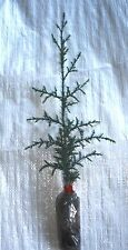 Italian Cypress, Pencil Pine, Totem Pole, Cupressus sempervirens Plug Plants X 3