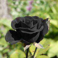 200Pcs/Lot Rare Black Rose Flower Seeds Garden Plant For Home Office Decor Sale