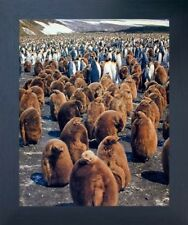 King Penguins Colony Espresso Wildlife Framed Wall Decor Picture Art Print 20x24