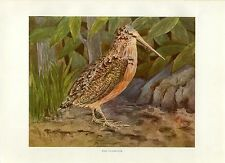 Early 1900s Antique Bird Hunting Print ~ The Woodcock
