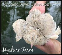 conservation, 50 PremiumNorthern Bobwhite Quail fertile hatching eggs