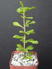 """Pereskia portulacifolia @  rare cacti plant natural bonsai caudex cactus aloe 2"""""""
