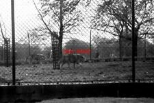 PHOTO  1973 WOLVES IN LONDON ZOO OPINIONS DIFFER ABOUT WHETHER THESE MAGNIFICENT