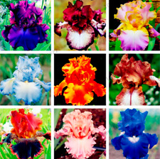 50 Pcs Seeds Iris Bonsai Perennial Flowers Home Garden Plants Orchid Rare 2020 D