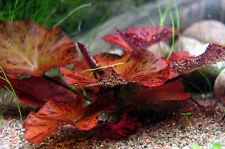 2 x RED Tiger Lotus Nymphaea bulb live aquarium plant tropical fish fry betta