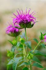 Exot Samen schnellwüchsig Garten Zierpflanze Rarität INDIANERNESSEL