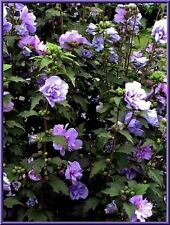 Rose Of Sharron- Double Blue 10 Seeds  COMBINED S/H  VERY BEAUTIFUL AND HARDY!