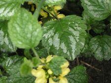 Lamier argenté - vivace - excellent couvre sol - 3 plantes / 2,20 euros