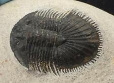 THYSANOPELTIS TRILOBITE FOSSIL FROM MOROCCO (S6)