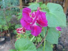 Morning Glory Ipomoea Akahigezaki Rare 5 seeds