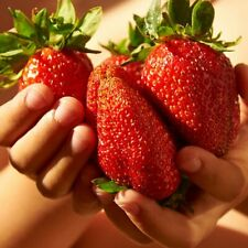 50 Giant Strawberry Seeds - Sweet And Delicious - Garden Fruit Plant