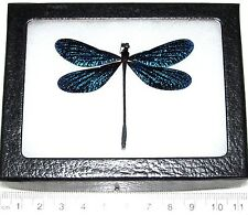 REAL SPARKLY BLUE BLACK DRAGONFLY DAMSELFLY FRAMED INSECT