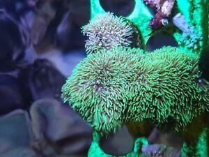 Green Star Polyp GSP soft coral frag beginner live Marine Frags corals Reef