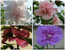 Rose of Sharon / Hibiscus Syriacus hardy!! mélange de couleurs, 30 graines seeds