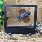V20 Taxidermy Draco Volans Lizard Floating framed Oddities Curiosities decor