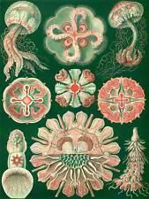 La NATURA DELL'ARTE Ernst HAECKEL biologia creatura marina Poster Pubblicità Vintage Germania 1784py