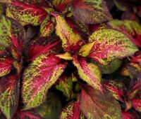 COLEUS VERSA ROSE TO LIME Solenostemon Scutellarioides - 40 Bulk Seeds