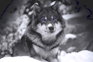 Blue Eyed Wolf Home Decor Canvas Print A4 Size (210 x 297mm)
