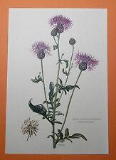 Skabiosen-Flockenblume (Centaurea scabiosa) Eisenwurzel   Farbdruck 1955