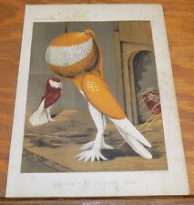 1876 Antique COLOR Pigeon Print///YELLOW-PIED POUTER COCK