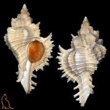 Murex Chicoreus territus, NW (!) Australia, Muricidae sea shell