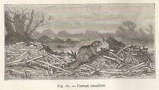A2107 Castori canadesi - Xilografia - Stampa Antica del 1895 - Engraving
