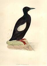 Stampa Antica 1870 URIA NERA = Ornitologia UCCELLI = BIRD Old Print by MORRIS