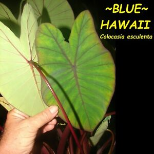 ~BLUE HAWAII~ Colocasia esculenta ELEPHANT EAR PLANT Live small potted Starter