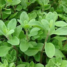 MAGGIORANA 800 SEMI Origanum Majorana Marjoram pianta spezia erba aromatica