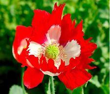 Flower - Papaver - Poppy - Victoria Cross - 20g Seeds - Bulk